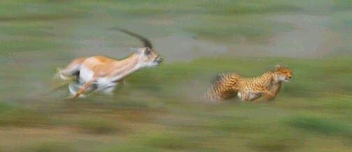 gazelle chasing cheetah